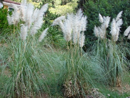 Pampas grass in a natural environment
