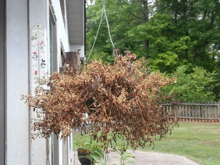 a picture of dead petunias in a hanging basket