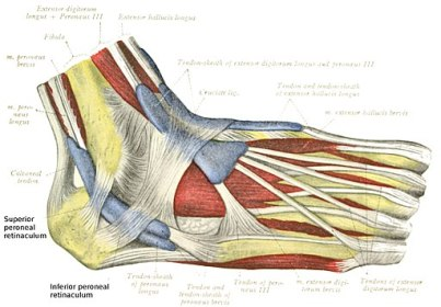 diagram of the ligaments of the foot