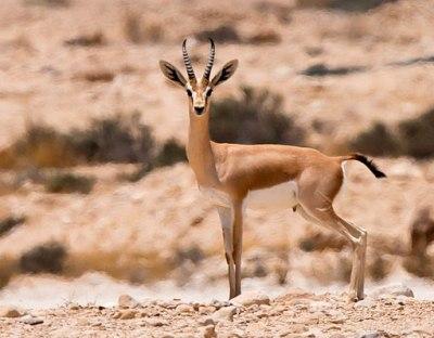 picture of the dorcas gazelle
