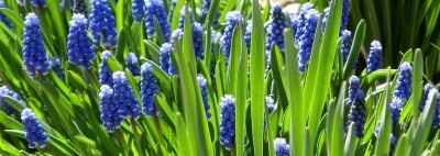 Grape hyacinths in early spring