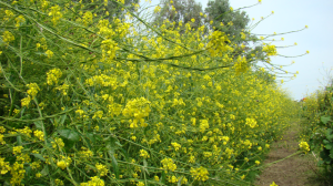 close up of black mustard plant growing