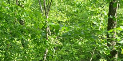 leafy oak forest