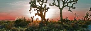 sun on desert horizon with Joshua trees