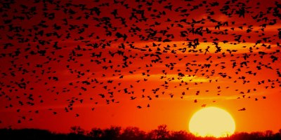 Red-wing blackbirds flying across a red sunset
