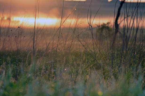 prairie grass at sunrise