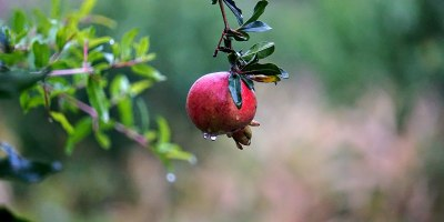 photo of ripe pomegranate