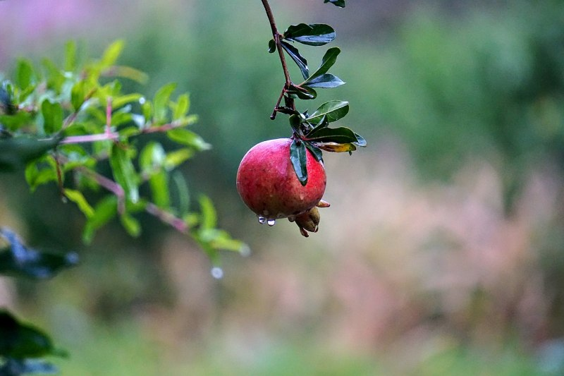 photo of ripe pomegranate