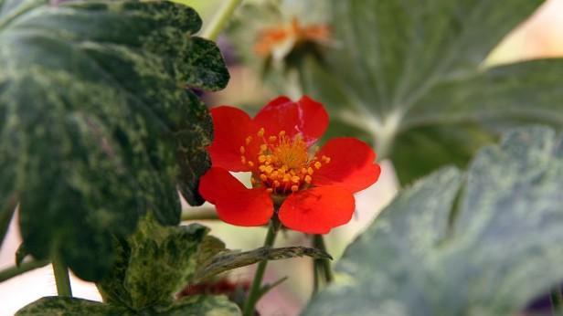geum borisii in flower